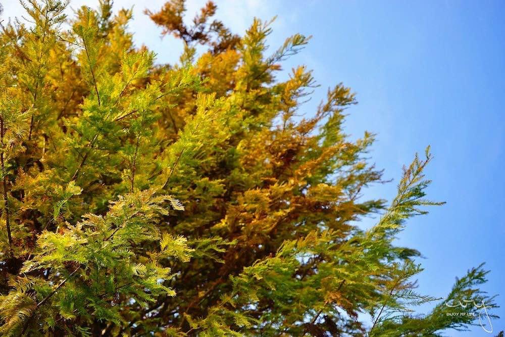 台中景點,北屯萬坪公園親子野餐地點推薦,落羽松大道和米奇樹