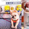 Doo Coffee|苗栗公館寵物友善景觀餐廳!兩隻活潑法鬥+法鬥咖啡下午茶套餐,萌萌的~